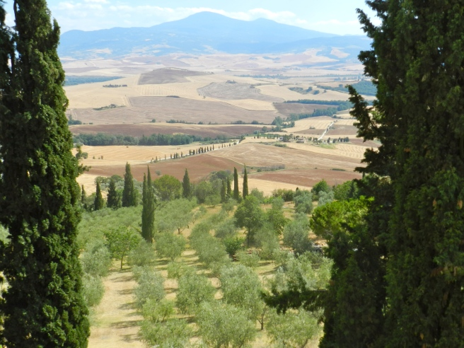 The olive trees of Tuscany